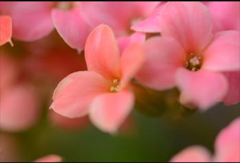 접사이미지:분홍색 꽃 접사 사진